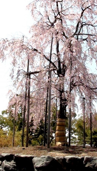 Photo of cherry tree, with straw-bound trunk, in the Toji Temple complex