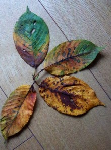 Four leaves from a cherry tree laid out on a light wooden floor. The photograph shows their autumn colours from green through yellow, orange, red and brown.