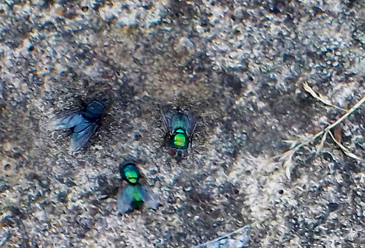 Two shiny bluebottle flies and one other larger black unidentified specimen sitting on the paving, in the sun, after feasting on dead mouse.
