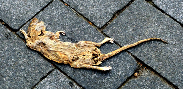 The very flat, mummified body of a splayed rat, pale against dark grey paving