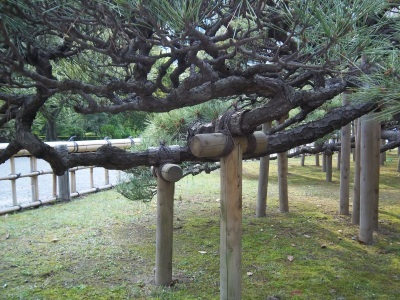 Low branches of an old pine tree held in place with sturdy T-shaped wooden support poles