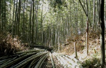 Bamboo: growing, felled and stored