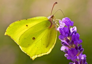 photo of a yellow-green butterfly with light black dots sitting on a purple flower